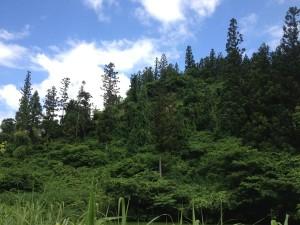 エコラの森乱伐後の杉