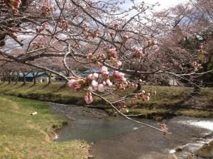 湯沢川の桜①