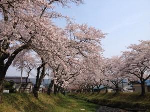 湯沢川の桜②