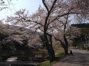 湯沢川の桜③